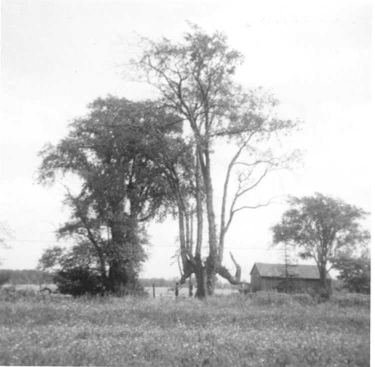 The Indian Trail - Marker Tree, Townline Rd. - 1968 (image/jpeg)