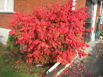 (Thumbnail) Fall Colours : Burning Bush at Dovewood Drive (image/jpeg)