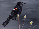 (Thumbnail) Red Wing Black Bird on Pussy Willow (image/jpeg)