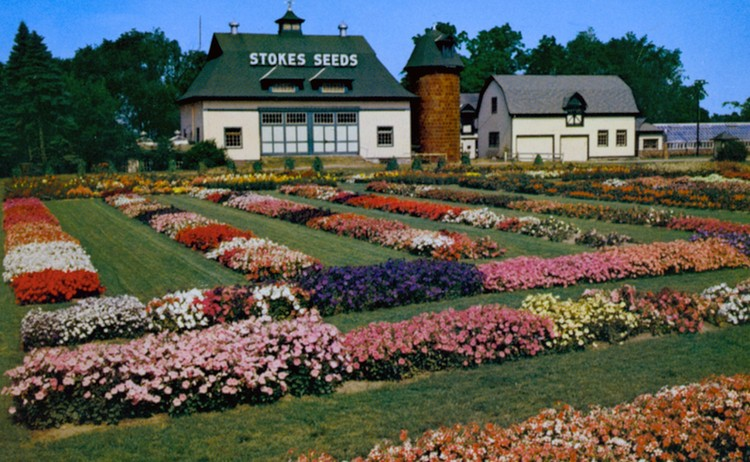 The All-America Flower Trials at Stokes Seed Farms, St Catharines, Ontario (image/jpeg)