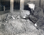 (Thumbnail) Conservation Officer A Roy Muma of the Ontario Department of Lands and Forests & Fish & Wildlife Niagara area with pheasant chicks (image/jpeg)