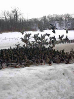 (Thumbnail) Ducks at Dufferin Islands in the Winter (image/jpeg)