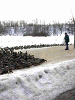 (Thumbnail) Feeding the Ducks at Dufferin Islands in Winter (image/jpeg)