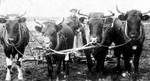 (Thumbnail) Farmer plowing fields with oxen in Chippawa (image/jpeg)