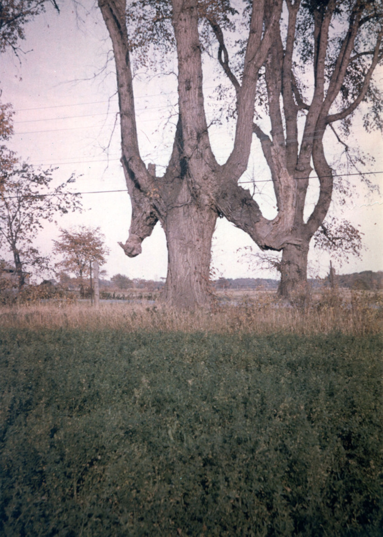 Old Indian Trail-Marker Tree, Townline Road (at Thorold - Stamford) (image/jpeg)
