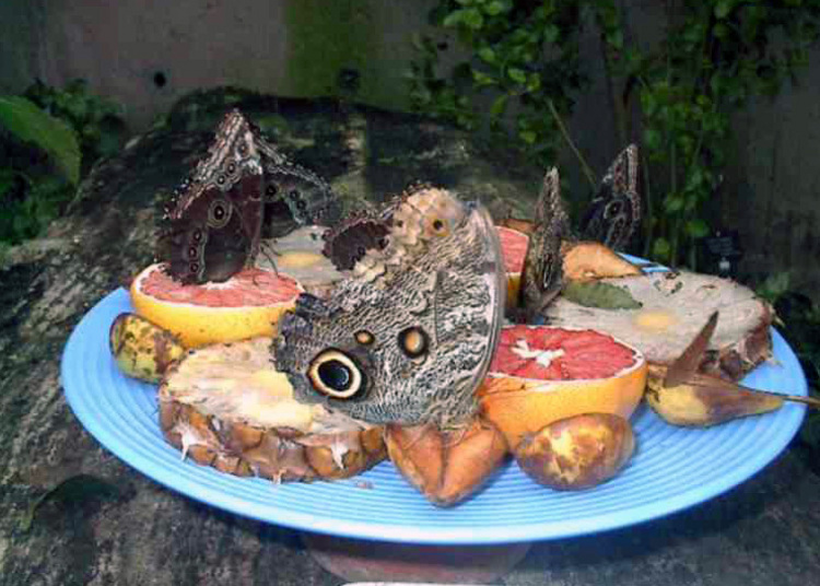 Butterflies feasting on fruit in the Niagara Parks Commission Butterfly Conservatory (image/jpeg)