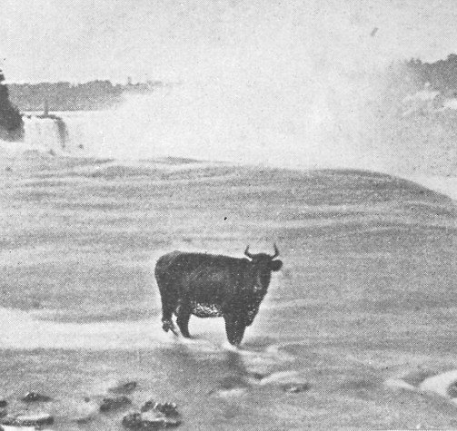 Official guide to Niagara - Bossy Simms the cow at the American Falls (image/jpeg)