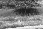 (Thumbnail) Deer at Cyanamid Plant (image/jpeg)