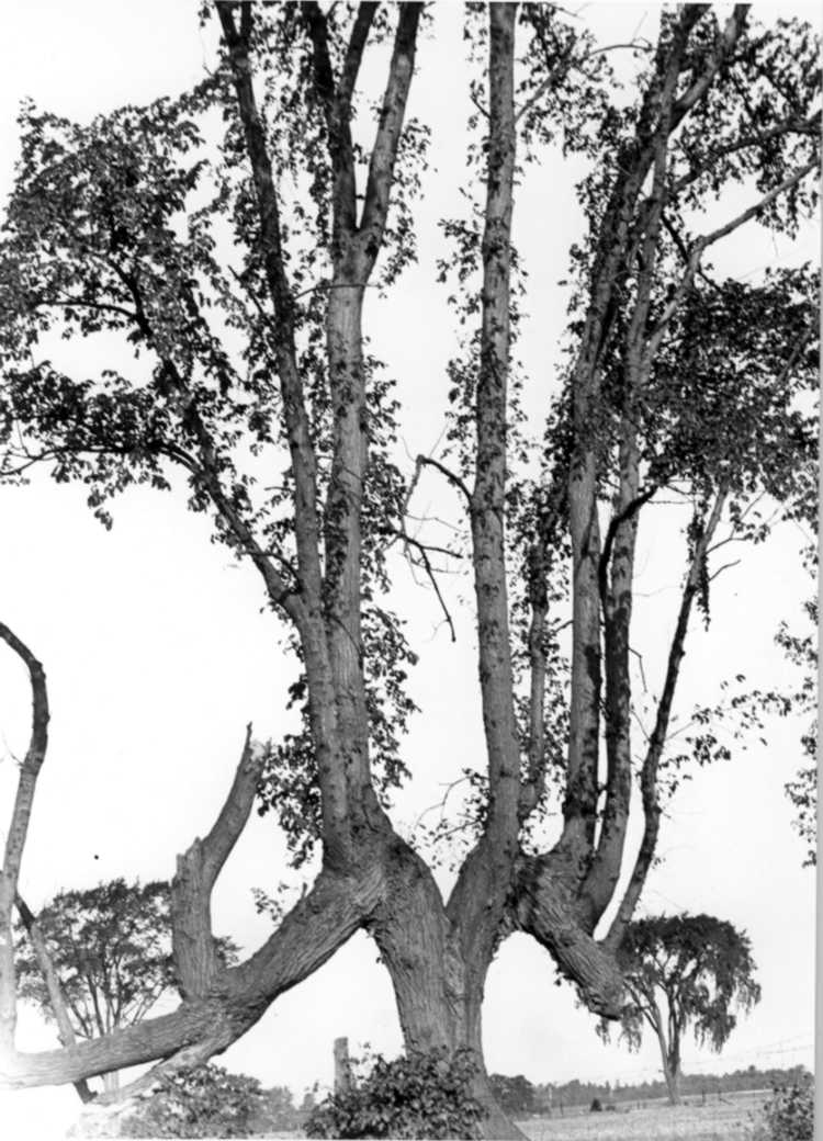 The Old Indian Trail - Marker Tree, Townline Rd. ( at Thorold - Stamford ) (image/jpeg)